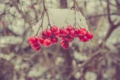 stock photo of rowan berry  - Red rowan mountain ash berries with fresh snow vintage photo effect - JPG