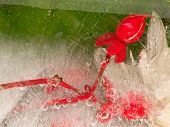 pic of fragile  - Frozen fragile abstraction of ice and beautiful red berries Hoperikum on a green background - JPG