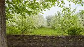 pic of orchard  - Blooming Apple orchard is fenced with woven fence - JPG