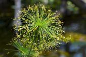 foto of dwarf  - Flowers of a dwarf papyrus sedge  - JPG
