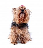 foto of yorkshire terrier  - Cute Yorkshire terrier dog isolated on white - JPG