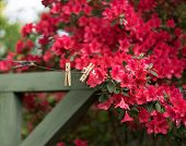 image of azalea  - Cheerful short depth of field photo of bright red azaleas on a huge bush around a vintage wooden clothesline - JPG