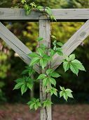 stock photo of ivy vine  - Beautiful but pesky Virginia Creeper vine growing on vintage wooden clothesline outdoors - JPG