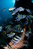 Large Shoal Of Tropical Fish