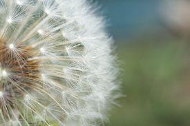 stock photo of dandelion seed  - Beautiful seeding dandelion flower with shallow focus in macro closeup - JPG