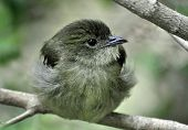 Female Manakin bird