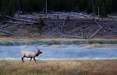 image of upstream  - a bull elk just emerged from a misty early river before sunrise walks upstream - JPG