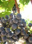 Uvas de Cabernet, Bolgheri, Toscana, Itália