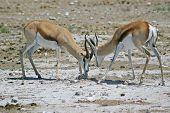 Springbok Jousting