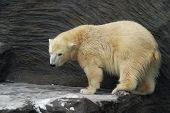 Young Polar Bear