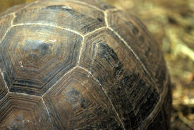picture of the hare tortoise  - this image was shot in the galapagos islands of ecuador and shows a giant tortoise - JPG
