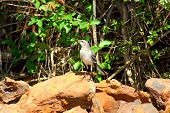 Mockingbird among rocks