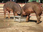 Duroc Hogs