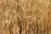 Golden Wheat Ears Before The Harvest