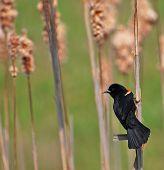 Red Wing Blackbird On Cattails