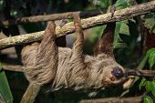 Linnaeuss two-toed sloth (Choloepus didactylus), also known as the southern two-toed sloth. poster