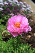 Moss Rose (portulaca)