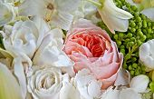 stock photo of english rose  - This old fashioned pink English rose is among a bouquet of white roses and other white petals for a soft floral stock image - JPG