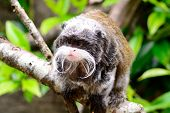 Portrait Of An Emperor Tamarin Monkey Sitting On A Branch poster