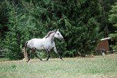 Beautiful Dappled Grey Horse in Pasture poster