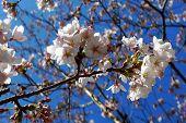 Japanse cherry blossoms