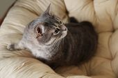 Tabby Cat On Soft Pillow, Above View With Space For Text. Cute Pet poster