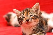 Sleepy Little Kitten. Portrait Of Baby Kitten Sleep Isolated On Red Background poster