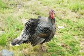 picture of gobbler  - Wild turkey male gobbler Meleagris gallopavo in a forest meadow - JPG