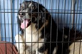 Caged Border Collie
