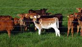 Calf's watching thru the fence