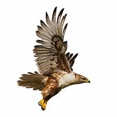 stock photo of hawk  - Large Hawk in flight isolated on a white background - JPG