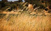 Wind Reeds