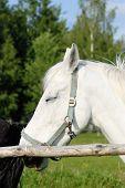 Head Of A White Horse