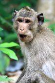 Affe Wangen aufgetrieben mit Essen