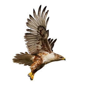 image of hawk  - Large Hawk in flight isolated on a white background - JPG