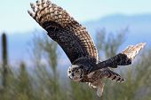 stock photo of big-foot  - A Great Horned Owl flying low over the Sonoran - JPG