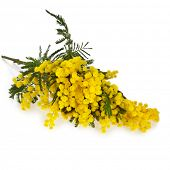 bouquet mimosa acacia flowers isolated on white background