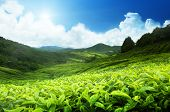 stock photo of malaysia  - Tea plantation Cameron highlands - JPG