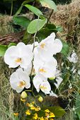 Branch Of White Orchid