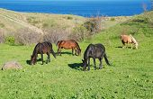Wild Horses On The Green Hill Near The Sea