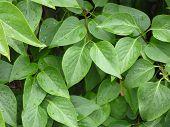 saftige nasse Blätter