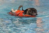Scared swimming Pug