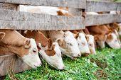 Calves Eating Green Grass