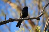 Common grackle bird on the branch of a tree