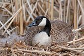 stock photo of mother goose  - This mother goose was incubating her eggs and keeping a watchful eye for any thing approaching too closely - JPG