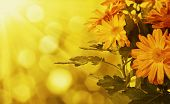 picture of chrysanthemum  - Chrysanthemum orange and yellow flowers with green leaaves, floral background