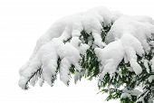 Snow Covered Fir Branch