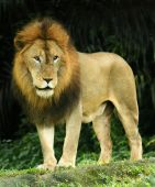 foto of african lion  - A fierce african lion standing on all fours - JPG