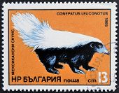 A stamp printed in Bulgaria shows American Hog-nosed skunk conepatus leuconotus