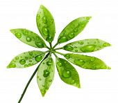 Постер, плакат: Капли воды на свежие зеленые листья Изолированные на белом фоне